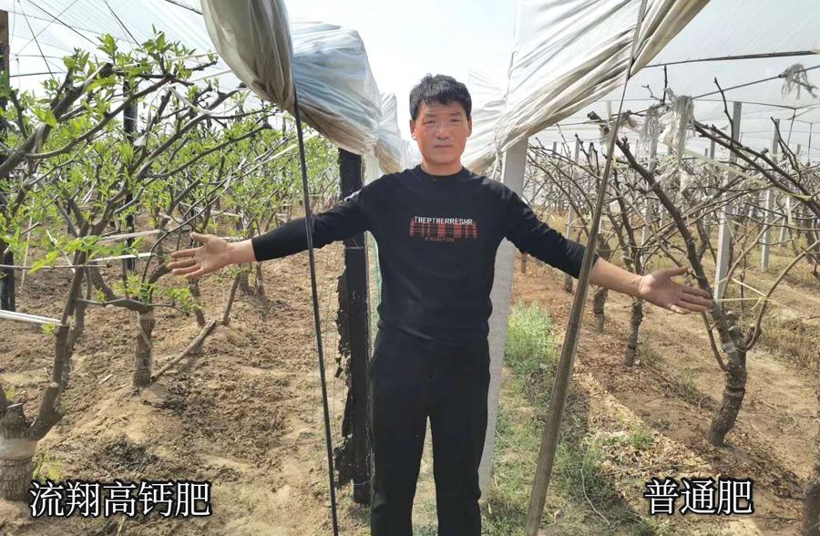 陕西大荔县流翔高钙肥在冬枣上的对比实验.jpg