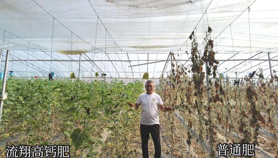 山东海阳市流翔高钙肥在黄瓜上的对比实验.jpg